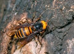 オオスズメバチ背中