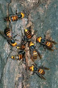 オオスズメバチの群れ縦