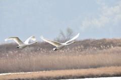 コハクチョウ2羽の飛翔2横